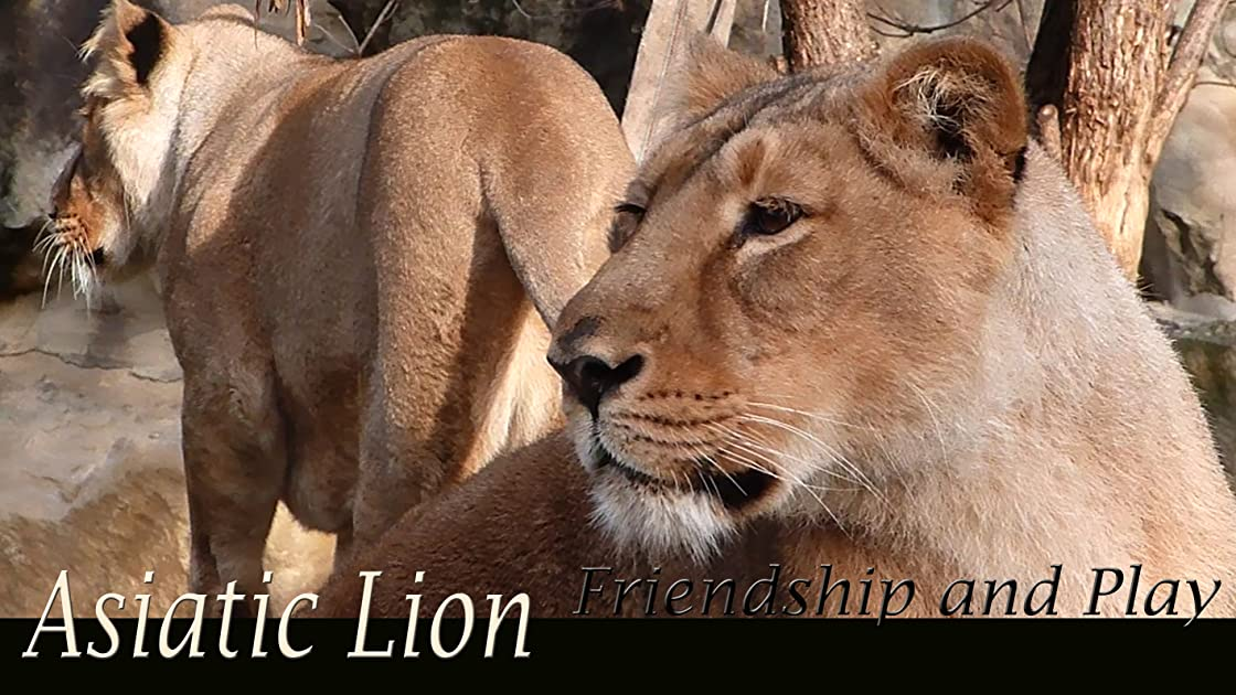 Asiatic Lion. Friendship and Play on Amazon Prime Video UK