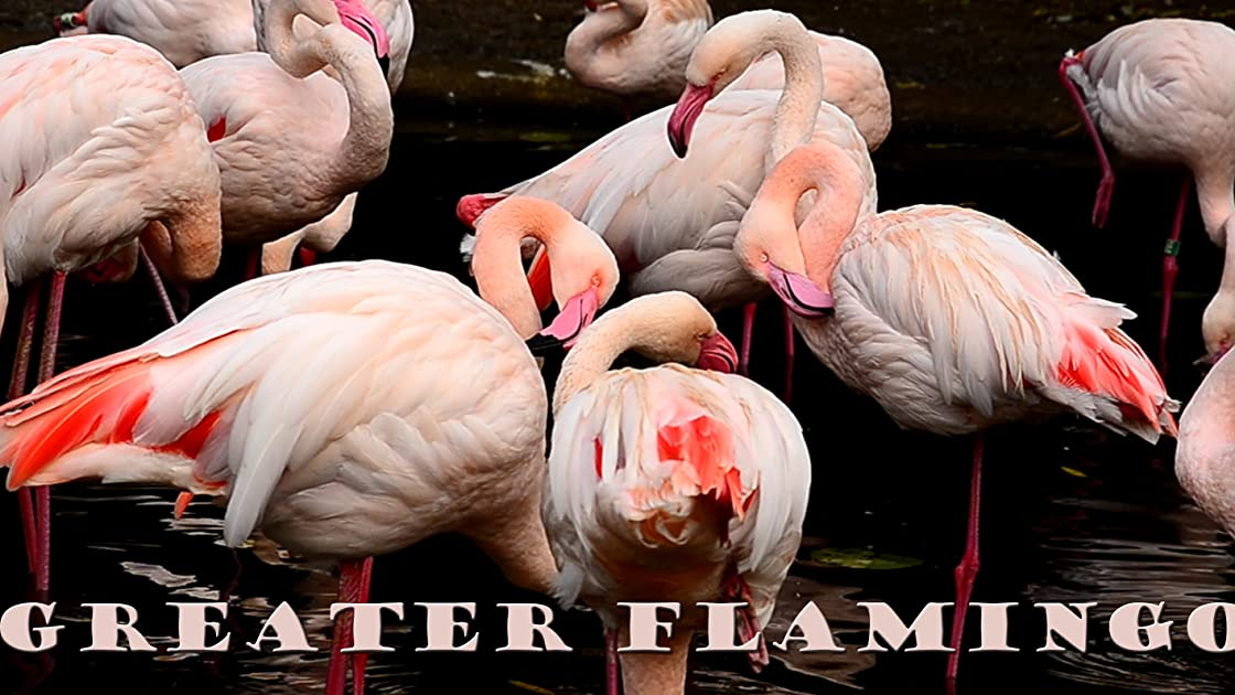 Greater flamingo on Amazon Prime Video UK