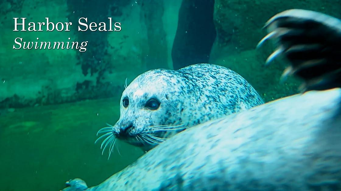Harbor Seals. Swimming