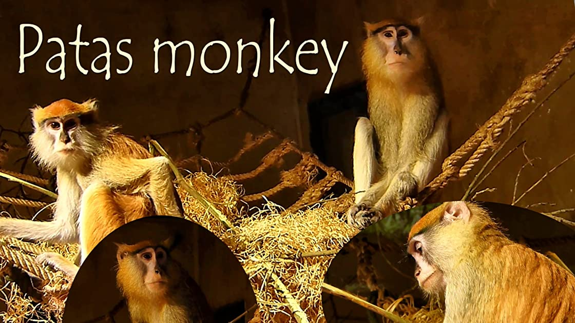 Patas monkey on Amazon Prime Video UK