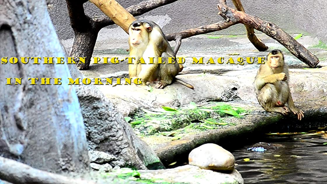 Southern pig-tailed macaque in the morning on Amazon Prime Instant Video UK