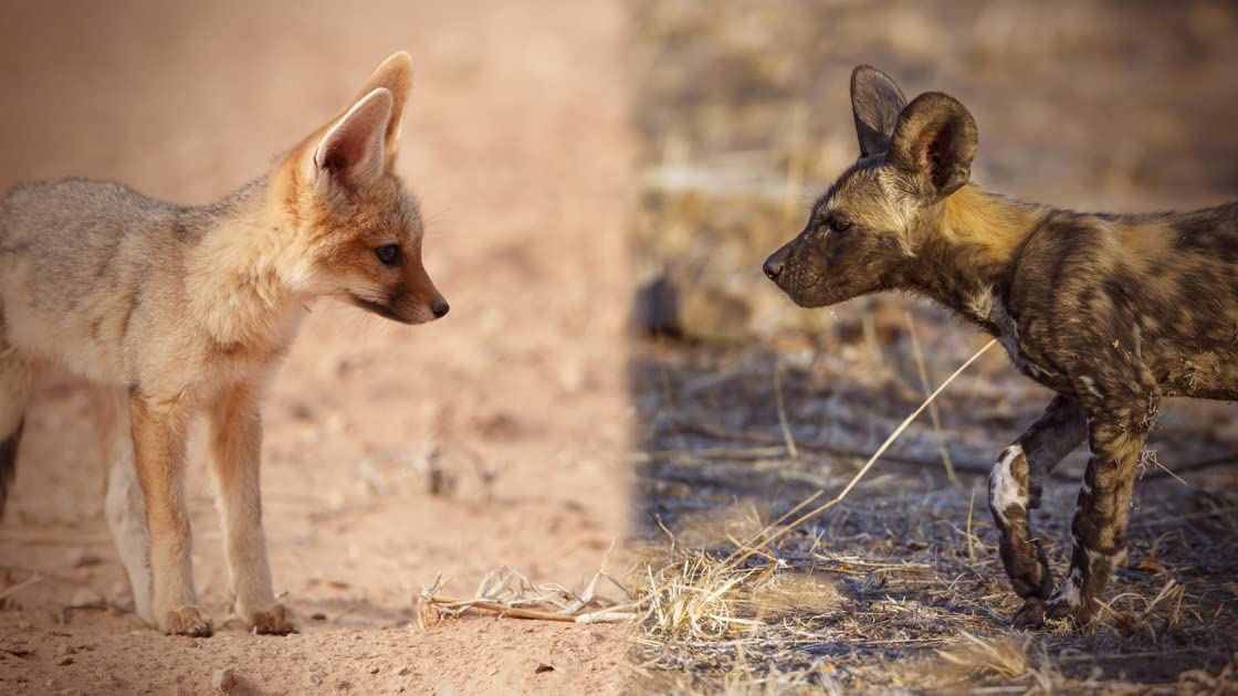 The Baby Lycaon (African Wild Dog) & The Baby Jackal