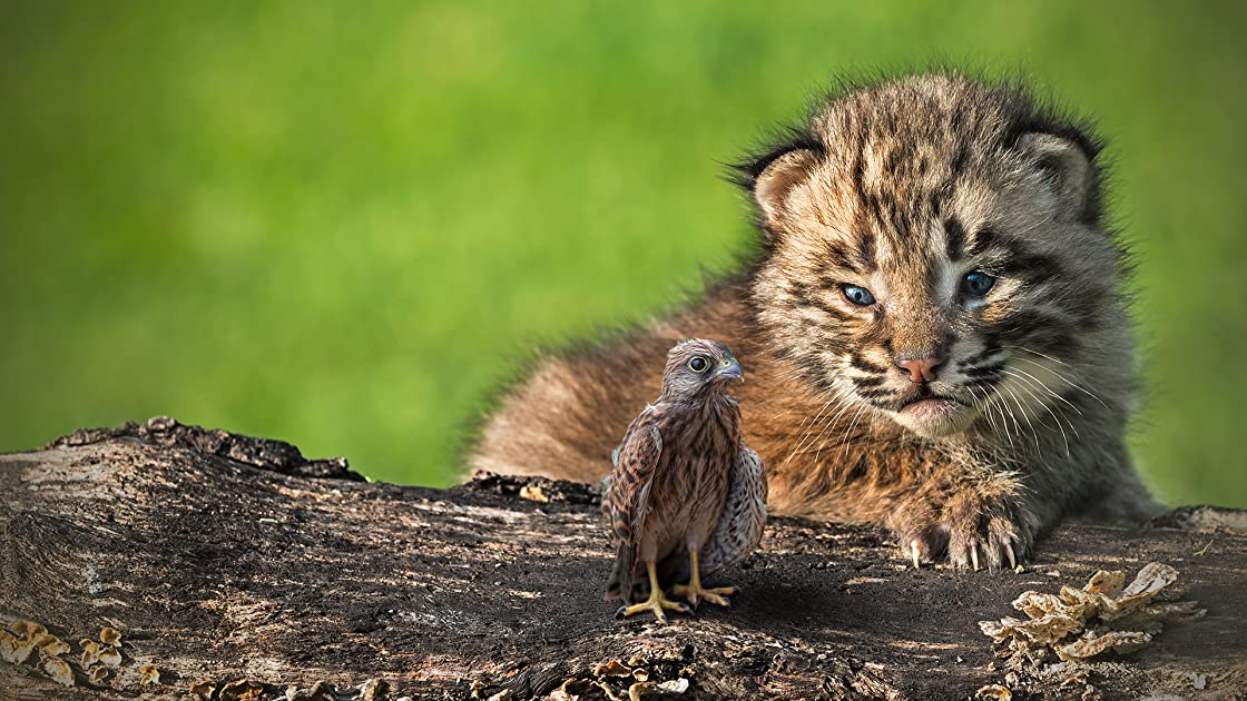 The Baby Lynx & The Baby Eagle