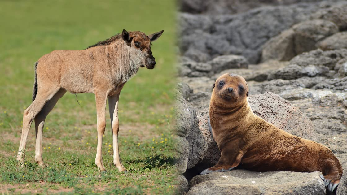 The Baby Wildebeest & The Baby Sea Lion