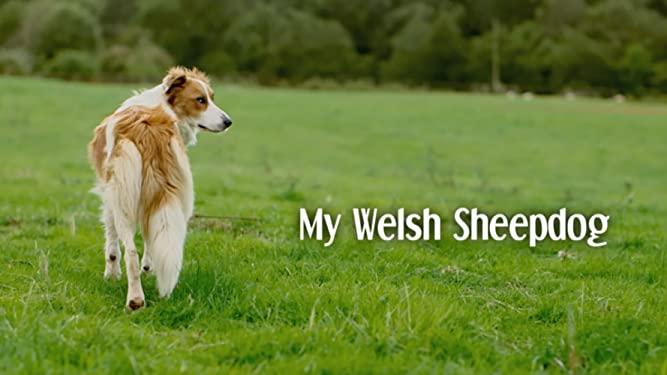 My Welsh Sheepdog