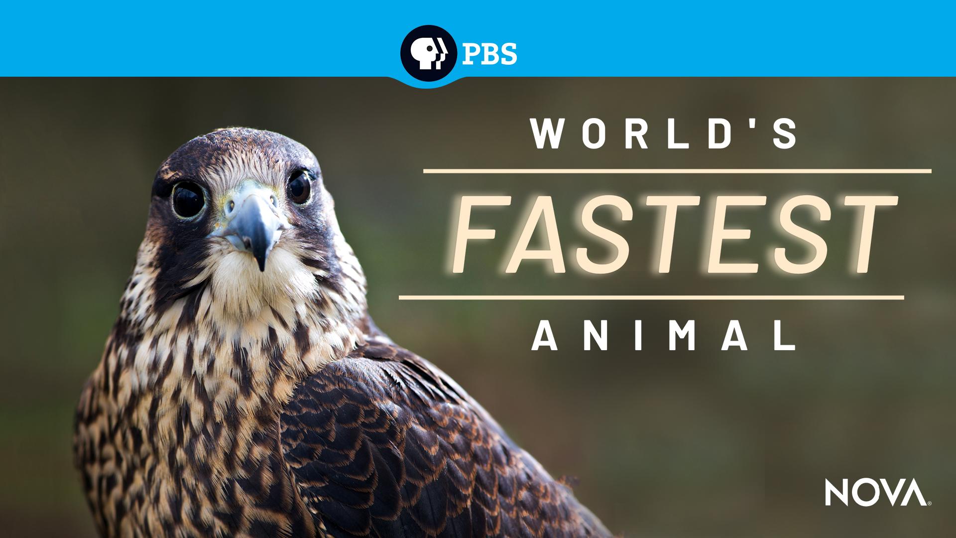 NOVA: Worlds Fastest Animal