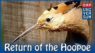 Return of the Hoopoe